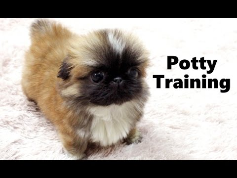 How To Potty Train A Pekingese Puppy Pekingese House Training