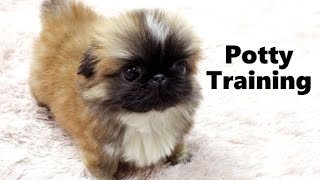 How To Potty Train A Pekingese Puppy - Pekingese House Training - Housebreaking Pekingese Puppies
