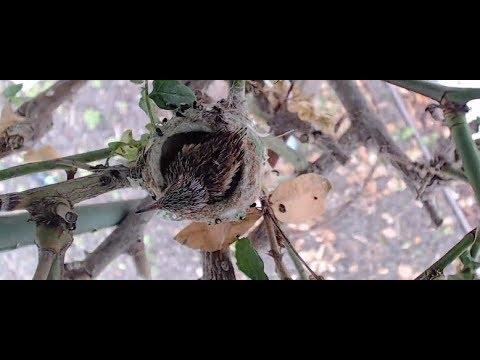 Newborn hummingbird baby in nest | The Dodo Tranquil Tuesdays LIVE