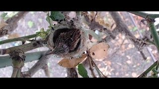 Newborn hummingbird baby in nest | The Dodo Tranquil Tuesdays LIVE