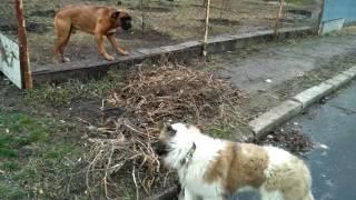 Боксер и Московская сторожевая. Взрослая собака и щенок. Уличное противостояние.
