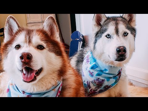 DIY Dog Bandanas | Summer 2019 | Tie-Dye