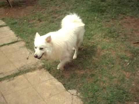Indian Spitz Dog Youtube