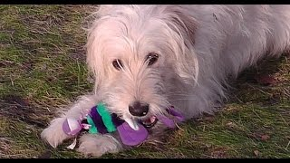 Excellent Dog Training Video. Cross Breed Golden Retriever, Poodle - Goldendoodle Ally. No75 2015