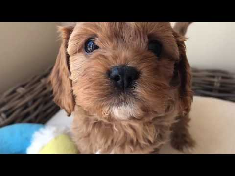 Paprika our red toy cavoodle puppy - 14 weeks old playing