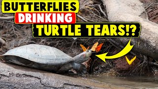 Butterflies drinking TURTLE TEARS!?
