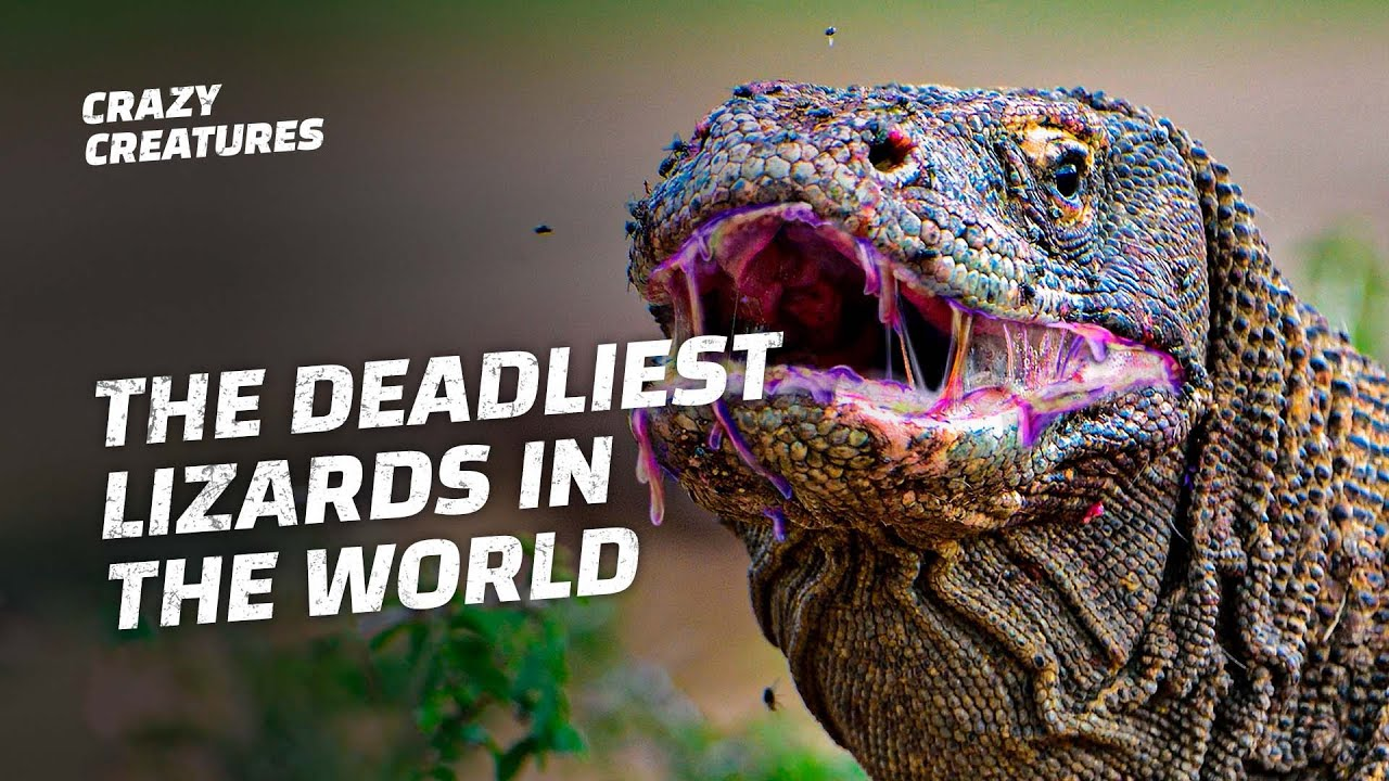 Komodo Dragons: the Deadliest Lizards in the World