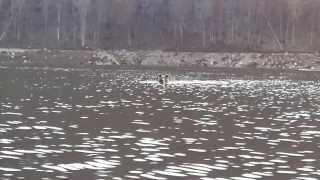 Юмагузино вх , медведь решил переплыть на другой берег(Вот еще случай, 02.11.13 были на рыбалке на Юмагузинском водохранилище (в 2км от платины) , мишка переплывал на..., 2013-11-11T15:57:19.000Z)