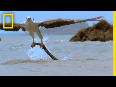 Eagle Vs. Sea Snake | National Geographic