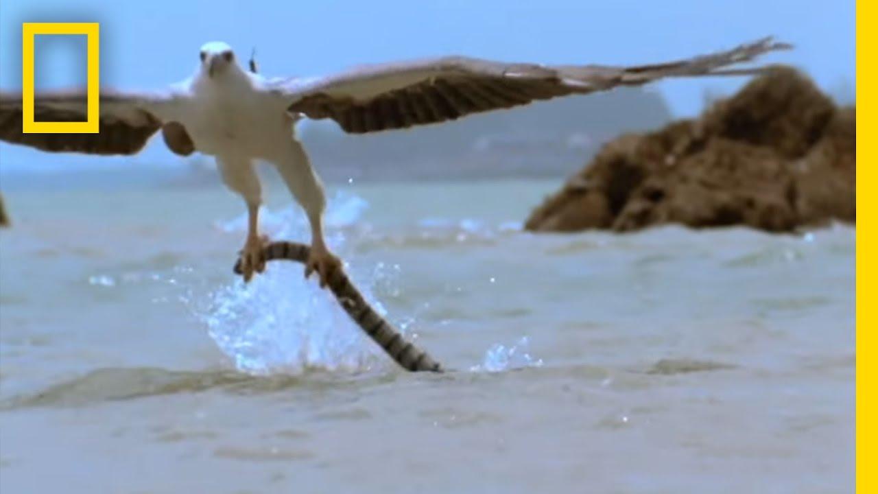 Eagle vs. Sea Snake | National Geographic