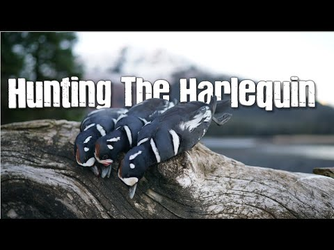 Hunting The Harlequin