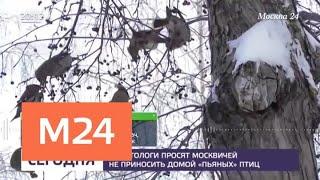 Орнитологи просят москвичей не приносить домой пьяных птиц - Москва 24