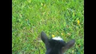 Chèvres miniatures des Tourelles - Mission : sauver Indy !