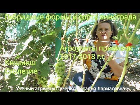 Виноград кишмиш Столетие (Пузенко Наталья Лариасовна)