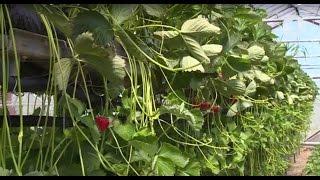Как выращивают клубнику в Приднестровье / Утренний эфир