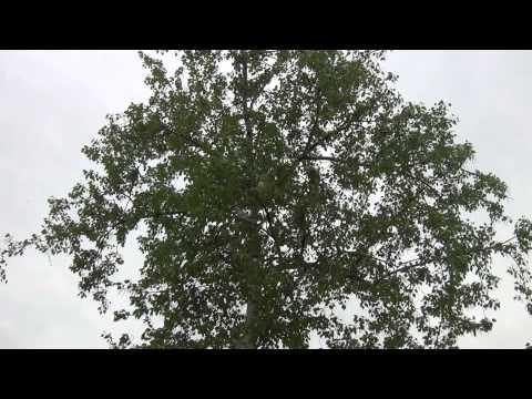 Листья, деревья (видео футаж)