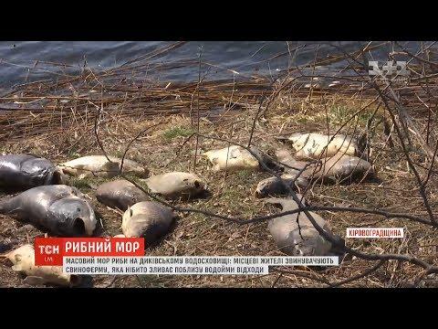 ТСН: Люди звинувачують свиноферму у масовому морі риби на Диківському водосховищі