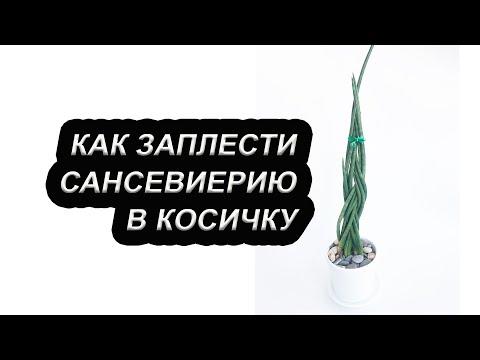 Как заплести сансевиерию в косичку / Цилиндрическая сансевиерия