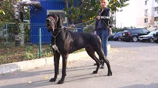 😍👍WOW. Собаки - ГИГАНТЫ. Dogs - GIANTS.