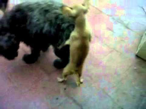 Cachorros schnauzer cruza con maltes