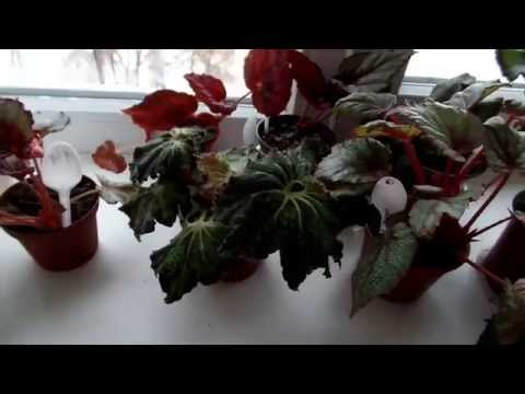 Бегония декоративно-лиственная часть 1-я