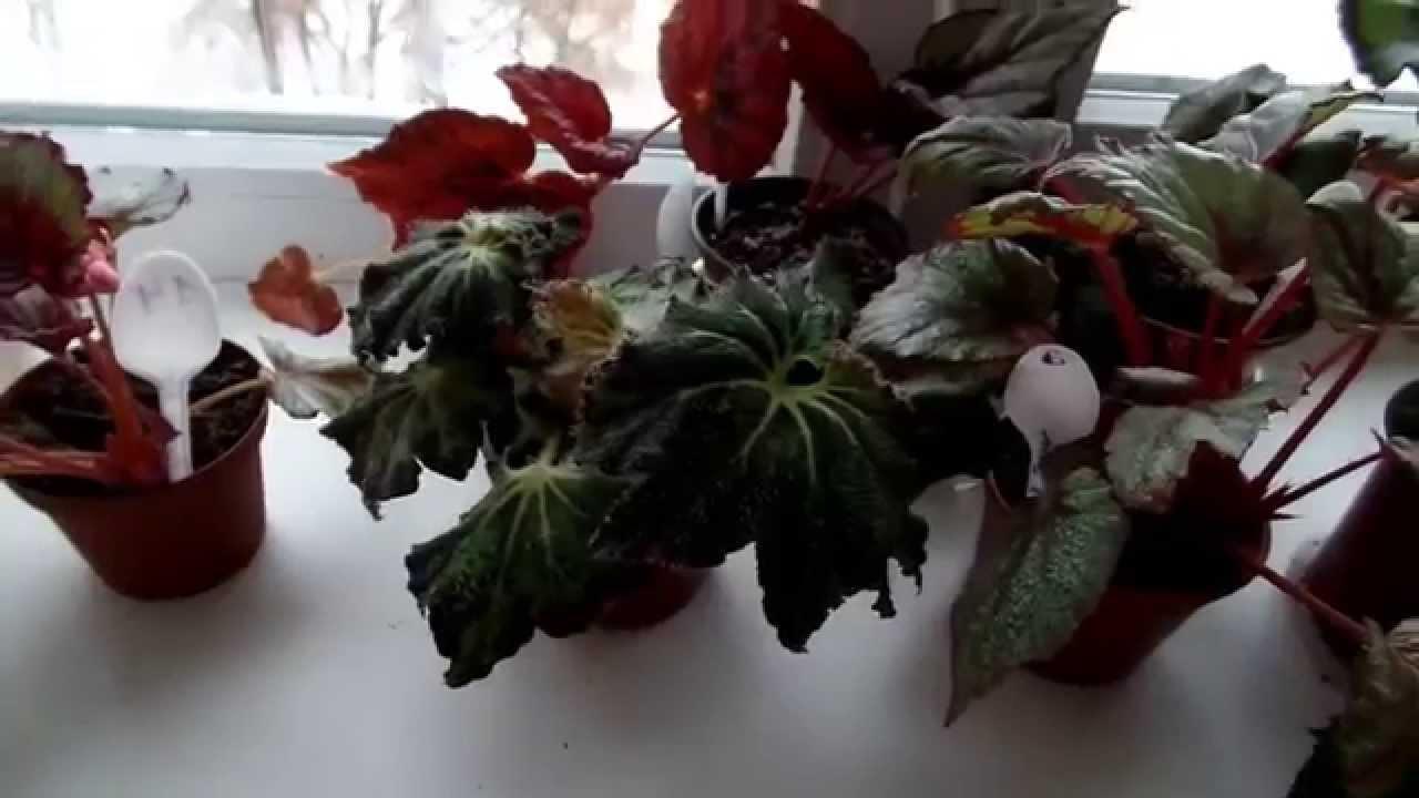 Бегония — одно из самых популярных декоративно-цветущих и декоративно -лиственных растений.