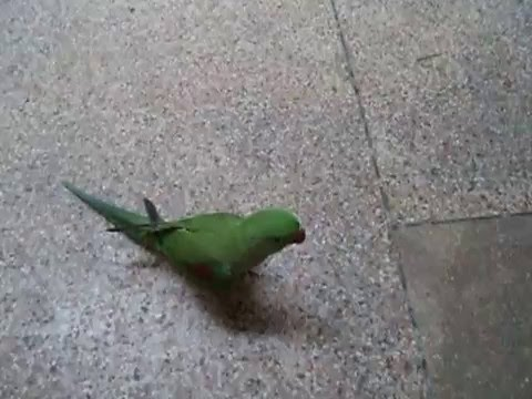 talking parrot raw baby start talking first movement on YouTube in Urdu