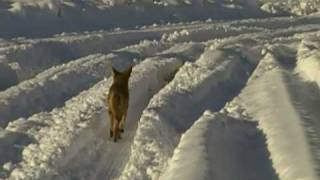 Coyote in Snow - Yucca Valley