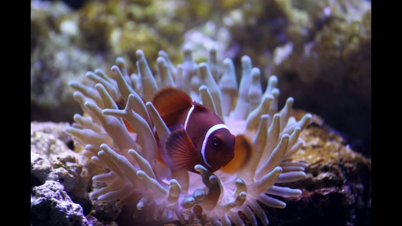 Maroon clown fish meets his new friend youtube for Buy clown fish