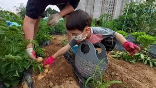 vlog#6 | 주말농장 | 감자캐기 | 주말일상 | …