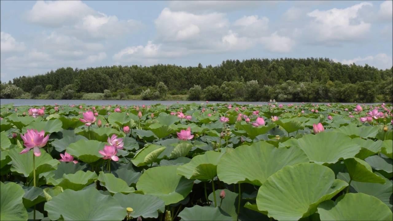 Хабаровск галкино озеро лотосов
