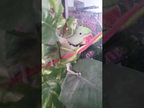 Talking  parot Frindly parot Funny parot Birds play kids So sweet parot