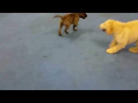 Bullmastiff Playing at First Puppy Class
