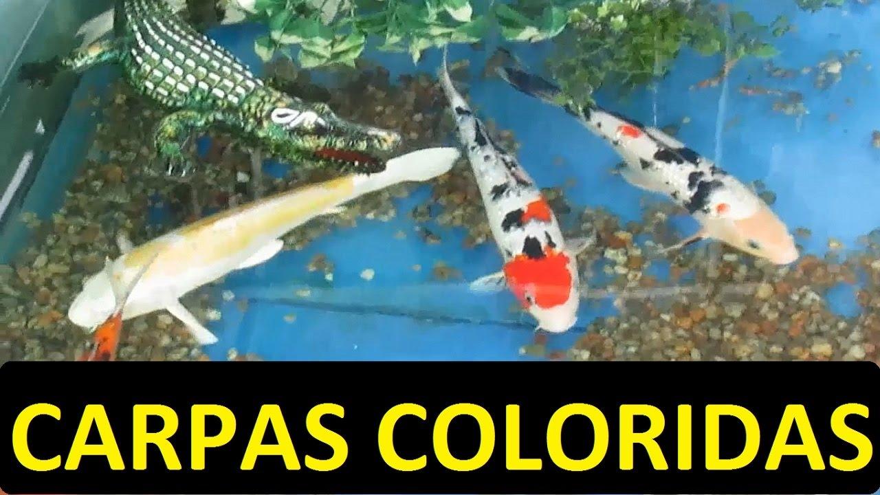 Carpas coloridas para lago ornamental lago artificial for Como criar carpas en estanques