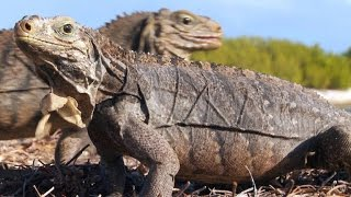 Feuding Iguanas and Giant Rodents Rule This Cuban Island