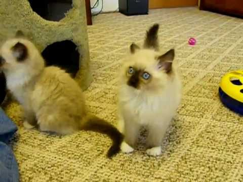 Gaggle Of Ragdolls!!  Adorable Kittens Ham It Up!