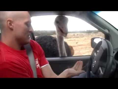Man attacked by ostrich