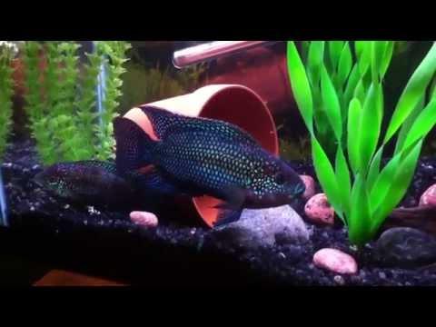 Jack Dempsey fish: size, tankmates, care, lifespan, breeding