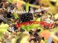 Carniplant-Plantas carnívoras-Extracción de semillas de Dionaea muscipula