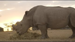 The Last Male Northern White Rhino on Earth