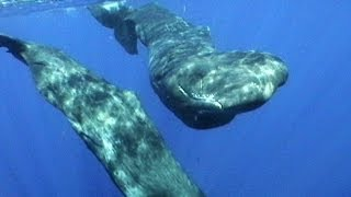 Sperm Whales of Dominica | JONATHAN BIRD