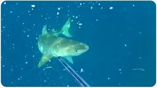 Tiger Shark Stalks Scuba Divers | Adventures in Spearfishing