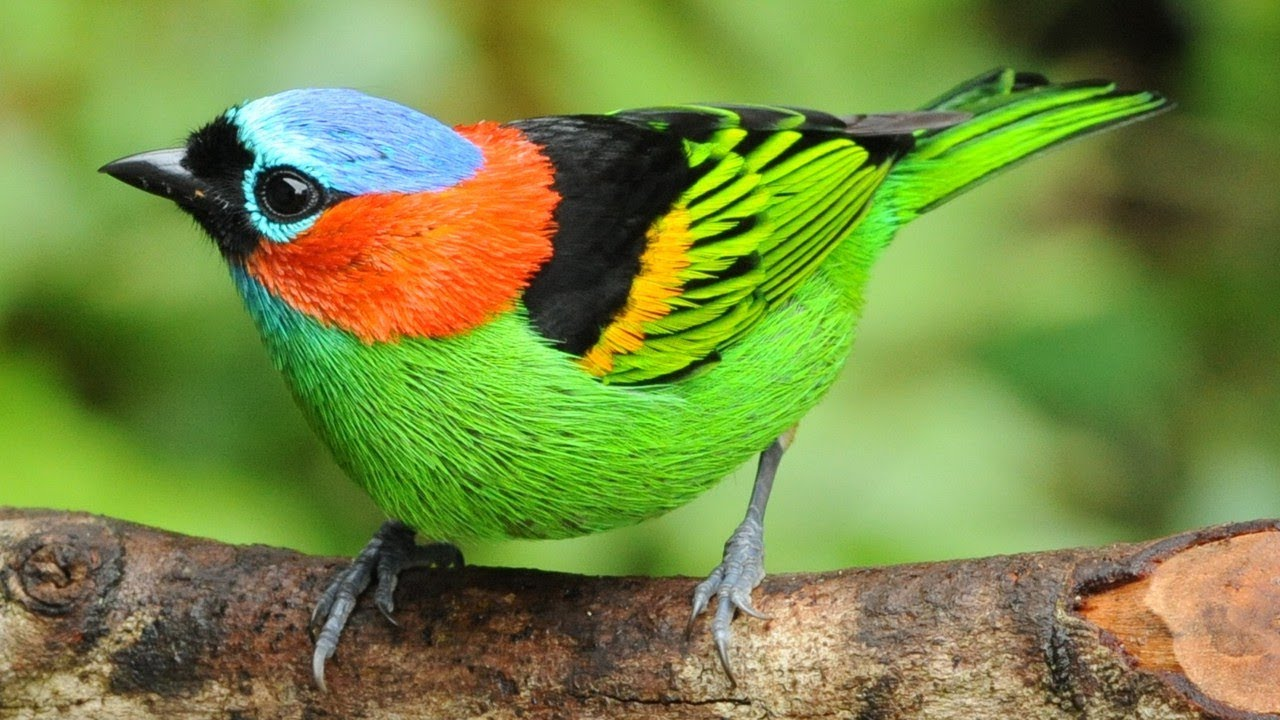 Top 10 Most Colourful Birds in the World - YouTube