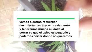 COMO HACER PODA APICAL EN PLANTA DE MARIHUANA