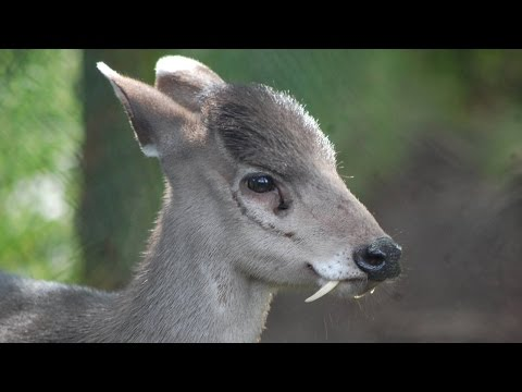 Deer With Fangs Spotted After 66 Yrs - Vampire Deer