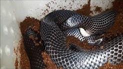 Eiablage Schwarze Königsnatter / Mexican Black Kingsnake is laying eggs