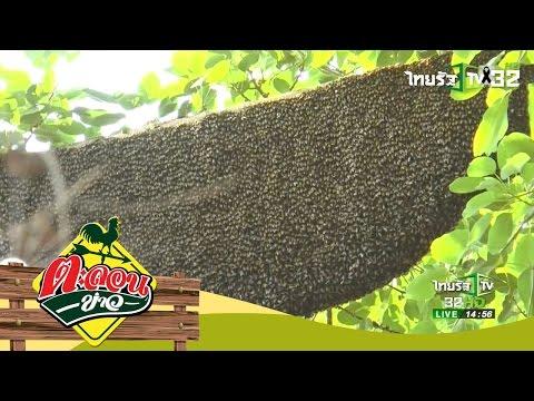ย้อนหลัง ผึ้งนับร้อย ทำรังบนต้นไทรใหญ่ | ตะลอนข่าว | 12-03-60 | 4/4
