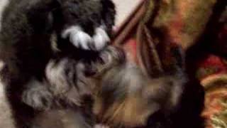 Funny Schnauzer Holding Little Yorkie's Treat