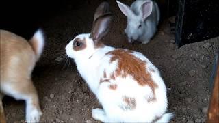 Erkek Tavşanları Birbirine düşüren Dişi Tavşan