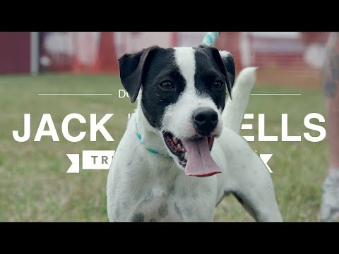JACK RUSSELLS: TRIALING THESE AMAZING TERRIERS